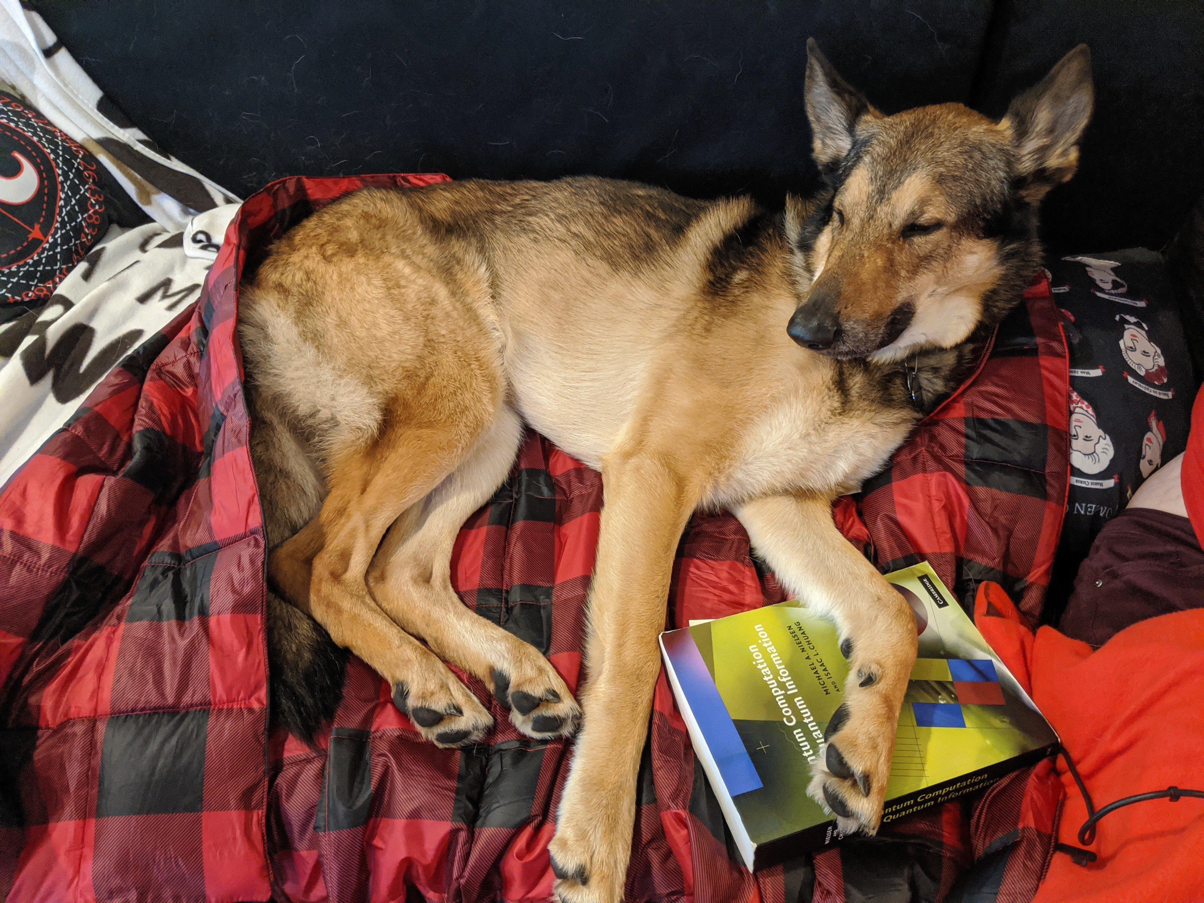 German shepard dog named Chewie laying on the couch on a book